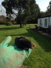 Garden Mole