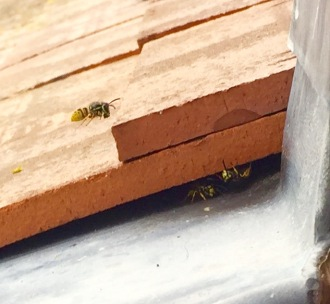 foraging wasp returning to nest