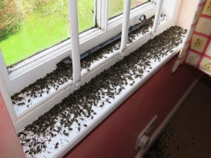 Cluster Flies on window casings