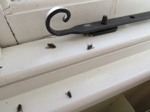 Cluster Flies on window frame