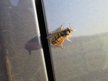 resting queen wasp on car panel