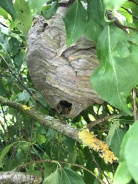 Median Wasp Nest