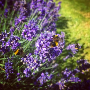 Bumble Bee's on Lavender