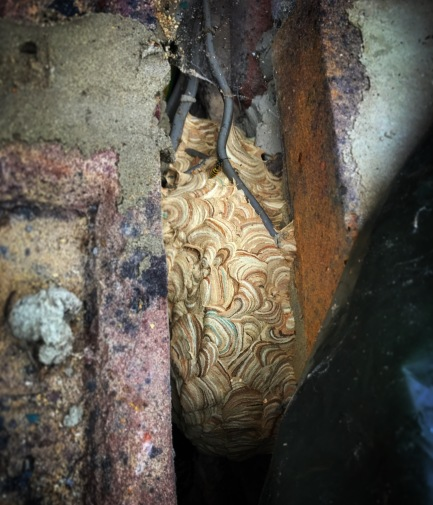 wasp nest constructed in wall cavity