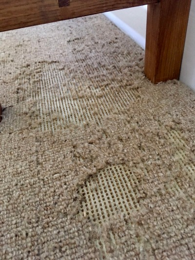 Carpet Moth damage